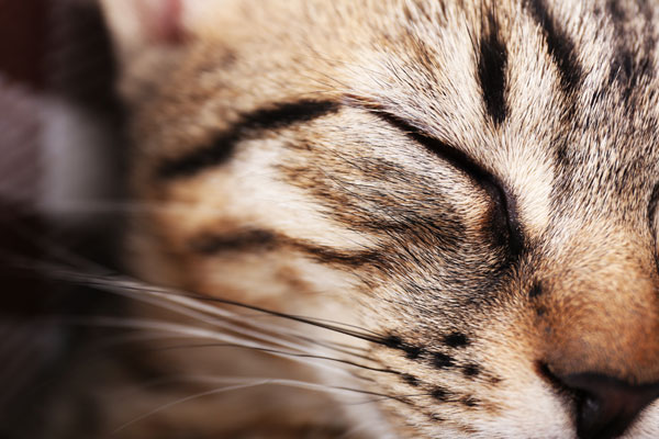 Portrait of sleeping cat closeup